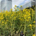浜離宮の菜の花